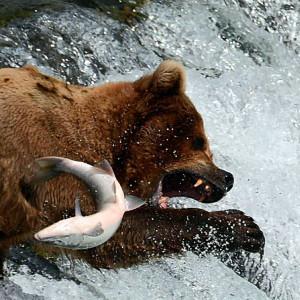 Alaska coast brown bear viewing and wildlife flightseeing trips