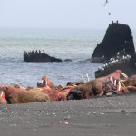 walrus viewing in Alaska with Trygg Air, AK