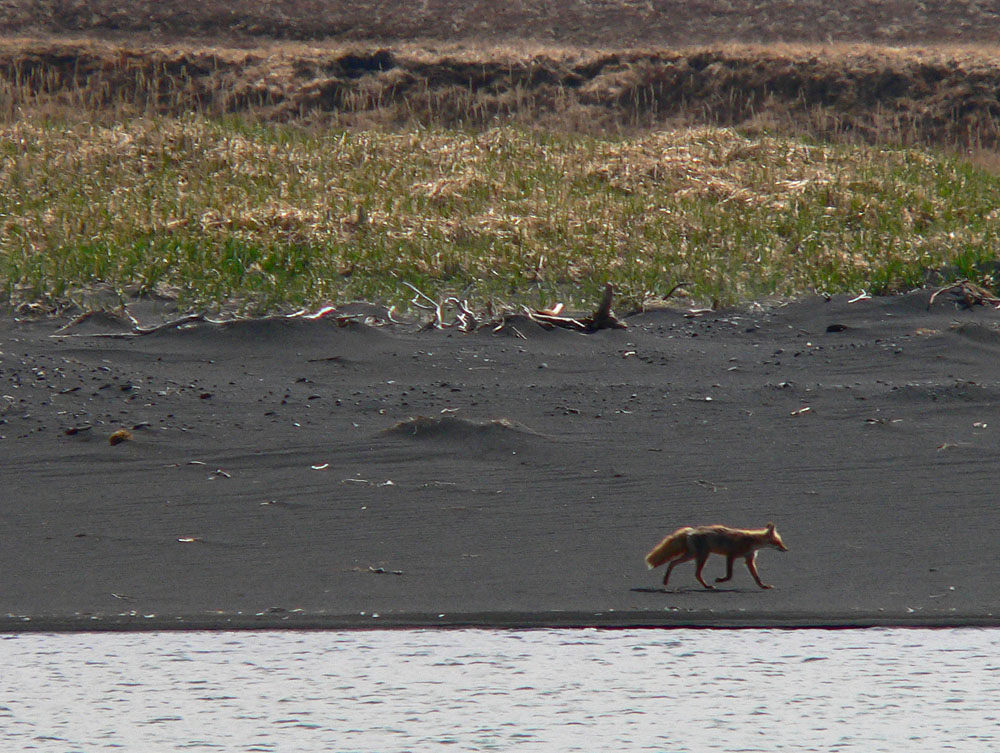 Red fox visiting during bear viewing in Alaska on the Katmai National Park coast