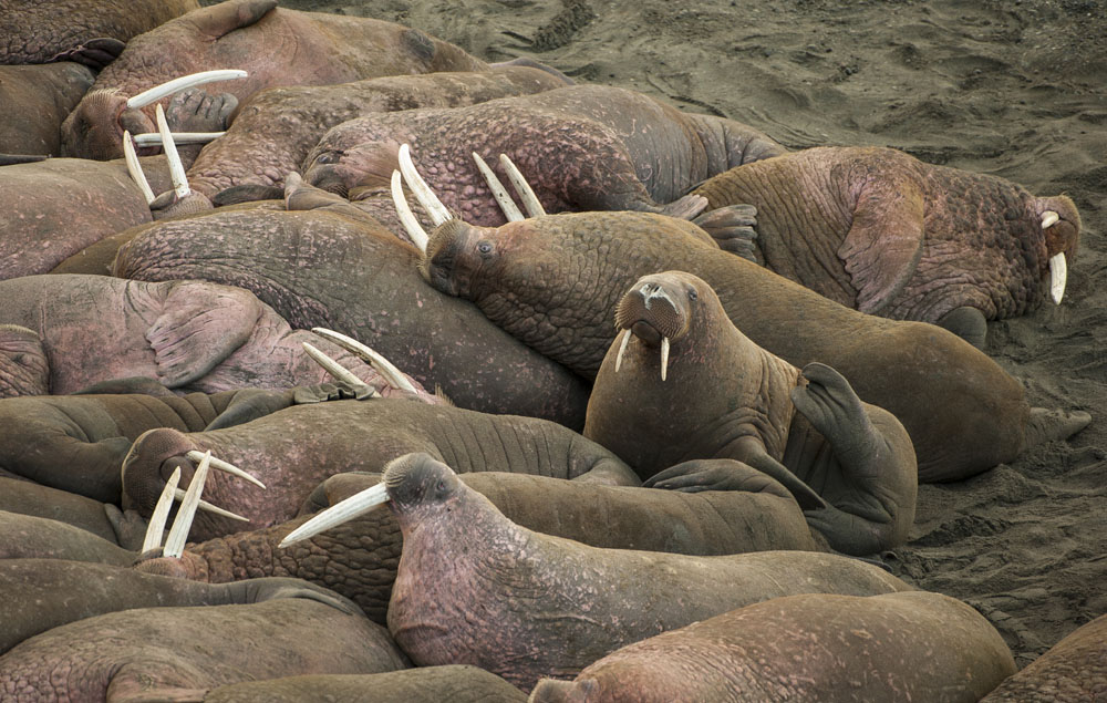 Walrus wildlife viewing in Alaska
