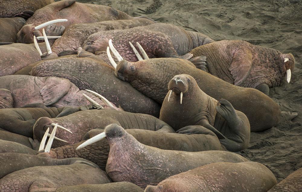 Walrus wildlife viewing in Alaska