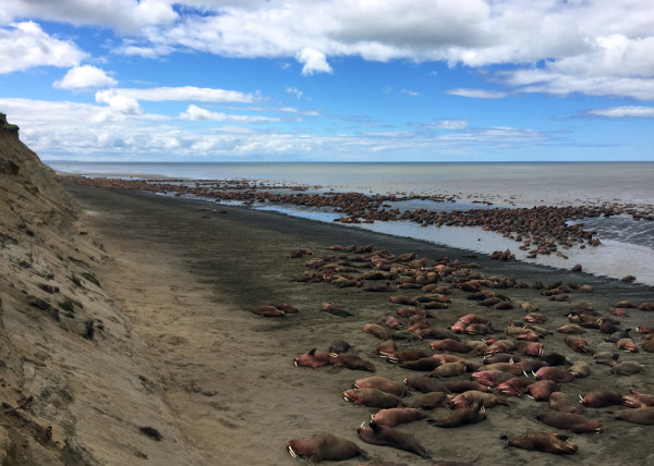 Walruses as far as the eye can see (almost) as seen in Alaska during a wildlife flightseeing trip with Trygg Air